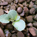 A healthy new cabbage plant