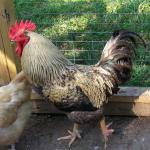 chicken-coop3