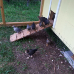 chicken-coop4