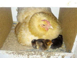 Mama hen with her chicks.