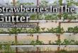 strawberry-gutter