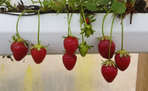 strawberry-gutter