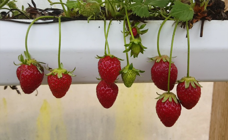 Strawberries In The Gutter Modern Homesteading Off Grid