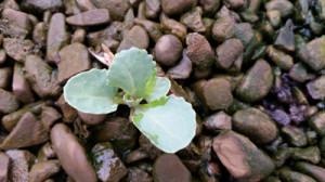 newcabbage