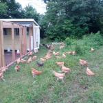 chicken-coop5