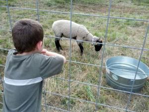 Joshua-sheep