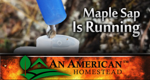 maple-syrup-sap