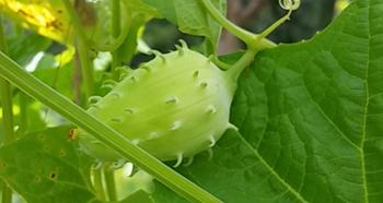 achocha-seeds
