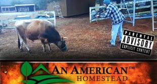 butchering-a-cow