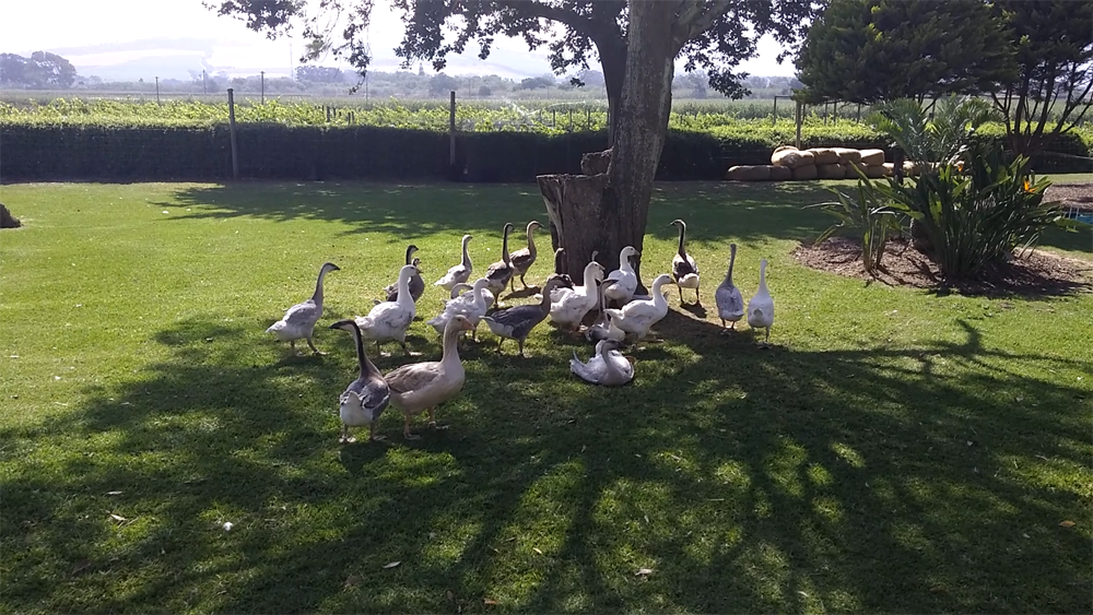 the-geese