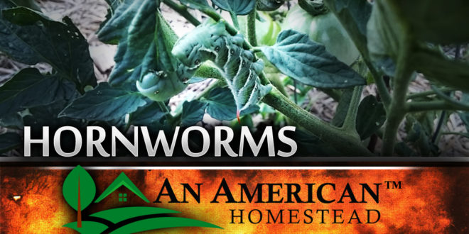 Getting Rid Of Hornworms