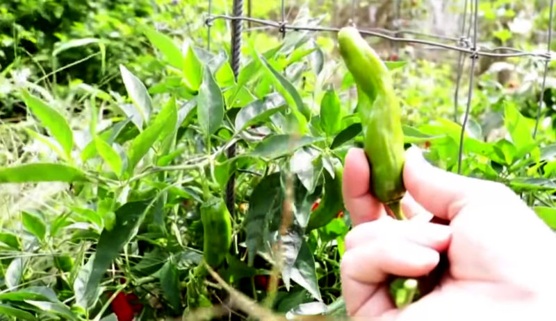 Shoshito Pepper Seeds