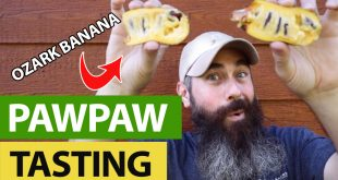 finding pawpaw fruit